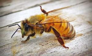Nota-abelha-300x182