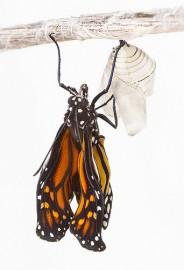 Monarca emergindo do casulo. Foto de aussiegall/Flickr