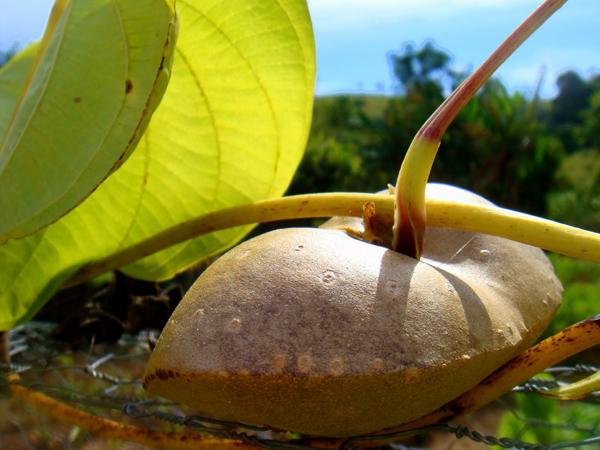 CARÁ-MOELA (Dioscorea bulbifera) A raiz, que recebeu esse nome por ser parecida com uma moela, nasce em qualquer pedaço de terra, desde que lhe deem uma cerca para subir. Com gosto ligeiramente amargo, o cará-moela teve seus dias de glória, antes de ser desbancado pelas batatas.