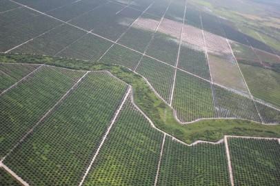 Plantação de palmas em meio a floresta tropical em Bornéu, Indonésia. Foto de glennhurowitz/Flickr