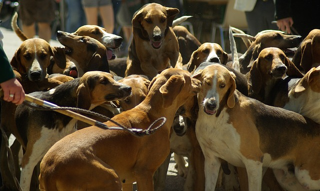 hunting-dogs-800845_640