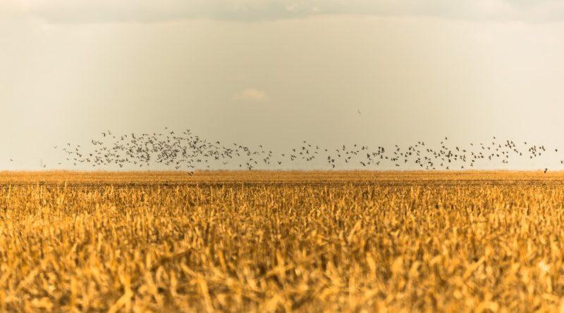 Pássaros em revoada sobre área de lavoura no Matopiba (crédito: Thiago Foresti/Ipam)
